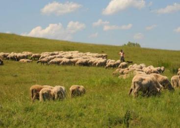 Minunea de la Merghindeal: romii agricultori ară pământul şi au sute de animale
